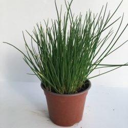 vasetto di erba cipollina