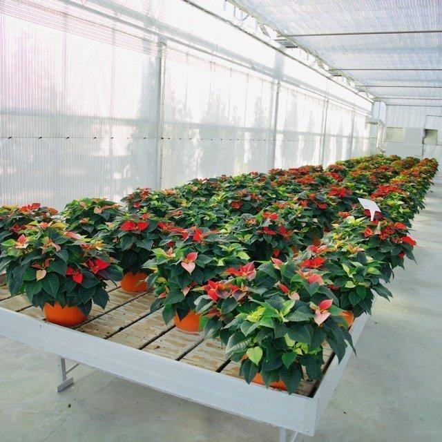 Talea Stella Di Natale.Euphorbia Pulcherrima Stella Di Natale Vivai Frappetta Roma