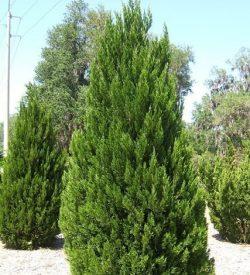 primo piano di albero di Juniperus chinensis ginepro