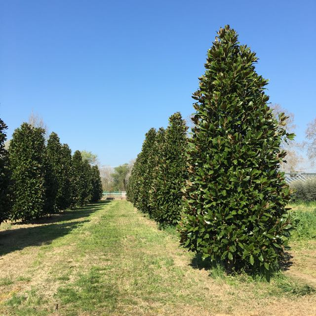 Magnolia grandiflora vivai frappetta - Arbre persistant brise vue ...