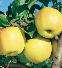 frutti di melo golden b
