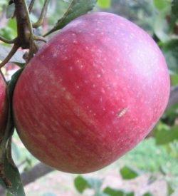 frutto di melo annurca