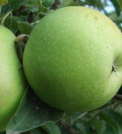 frutto di melo granny smith