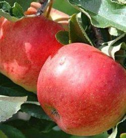 frutti di melo imperatore