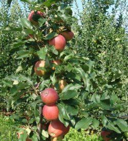 frutti di melo royal gala