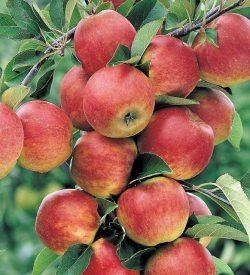 frutti di melo stark delicious