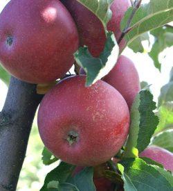 frutti di melo stayman