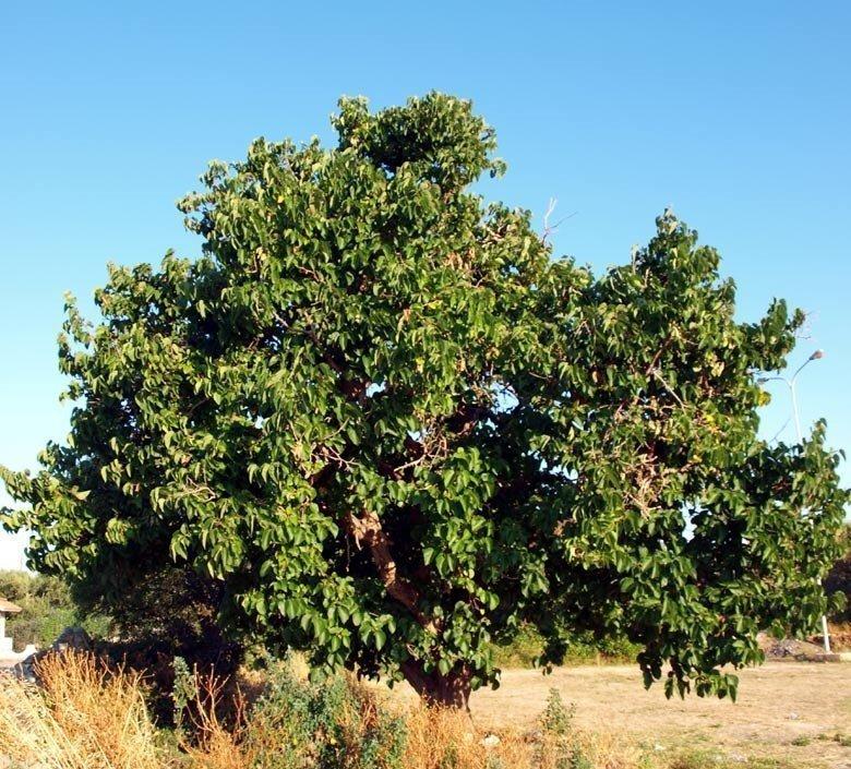 Morus nigra moro gelso nero vivai frappetta for Gelso pianta