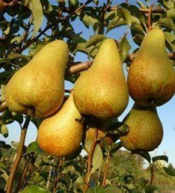 frutti di pero abate fetel