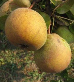 frutti di pero butirra hardy