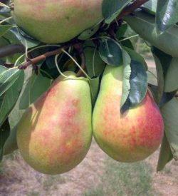 frutti di pero butirra precoce