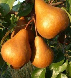 frutti di pero kaiser