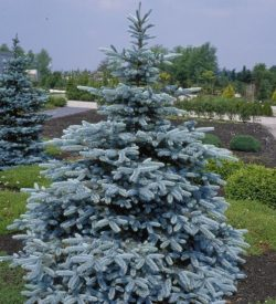 primo piano di Picea pungens Hoopsii
