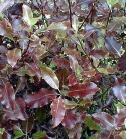 foglie di pittosporum tenuifolium purpureum