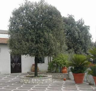 pianta di quercus ilex leccio