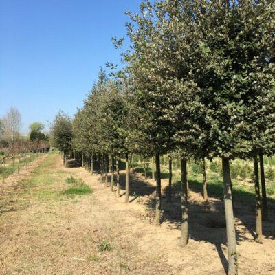 piante di quercus ilex leccio coltivate in vivaio