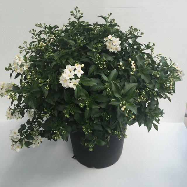 Solanum jasminoides vivai frappetta for Pianta solanum