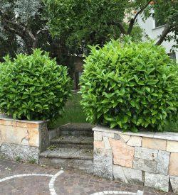 piante di viburno lucido viburnum tinus lucidum
