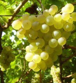 Grappolo di Vite Chardonnay