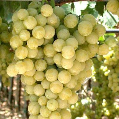 Particolare del grappolo di Vite Moscato Bianco