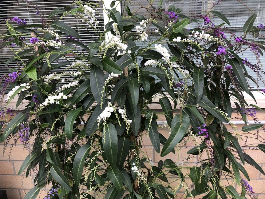 Hardenbergia violacea - 2