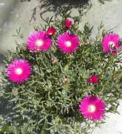 11695_01 Lampranthus roseus