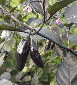 13451_01 Capsicum chinense peperoncino Pimenta da Neyde Peperoncino