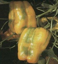 13464_01 Peperone giallo Lux