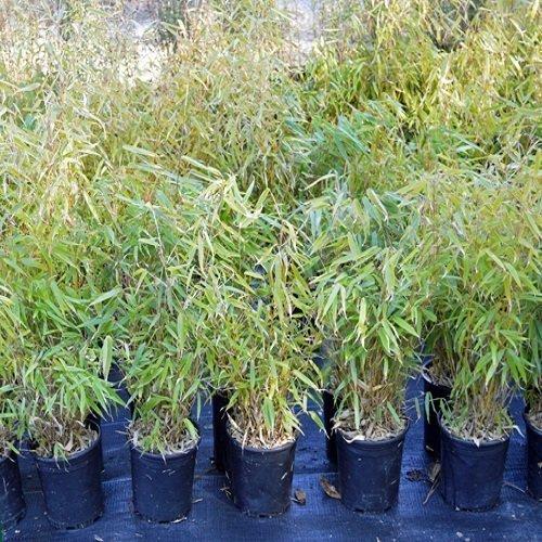 fargesia dracocephala 39 rufa 39 bambu 39 vivai frappetta. Black Bedroom Furniture Sets. Home Design Ideas