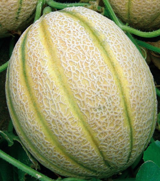 Melone retato vivai frappetta for Pianta di melone