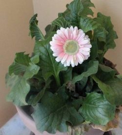 13485_01 Gerbera jamesonii