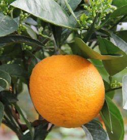 arancio ovale calabrese