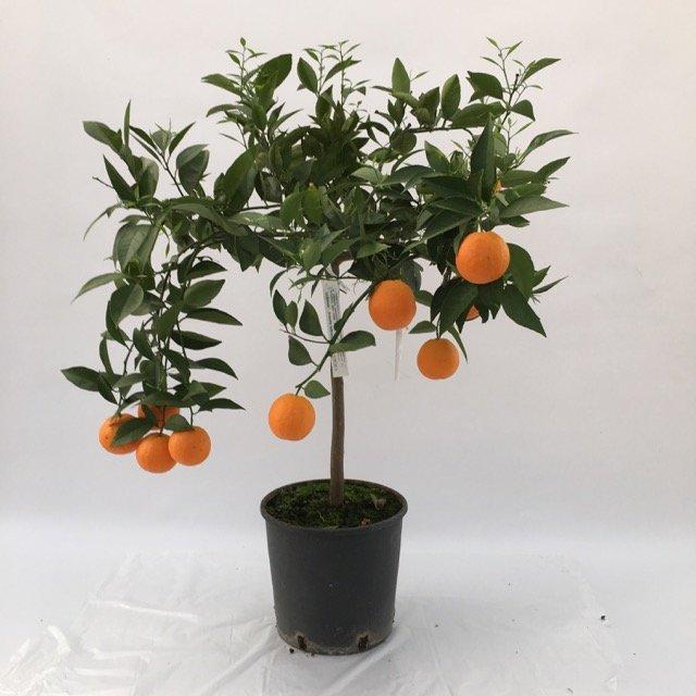Arancio vaniglia apireno vivai frappetta for Acquistare piante di agrumi