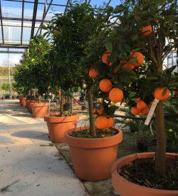 Pianta con i frutti di Arancio Washington