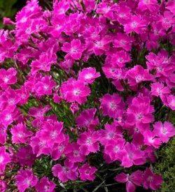 fioritura di Dianthus kahori garofano