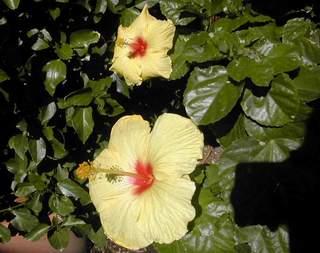 particolare del fiore di hibiscus rosa sinensis ibisco delle hawaii