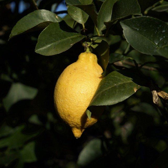 Limone 4 stagioni o lunario vivai frappetta for Acquistare piante di agrumi