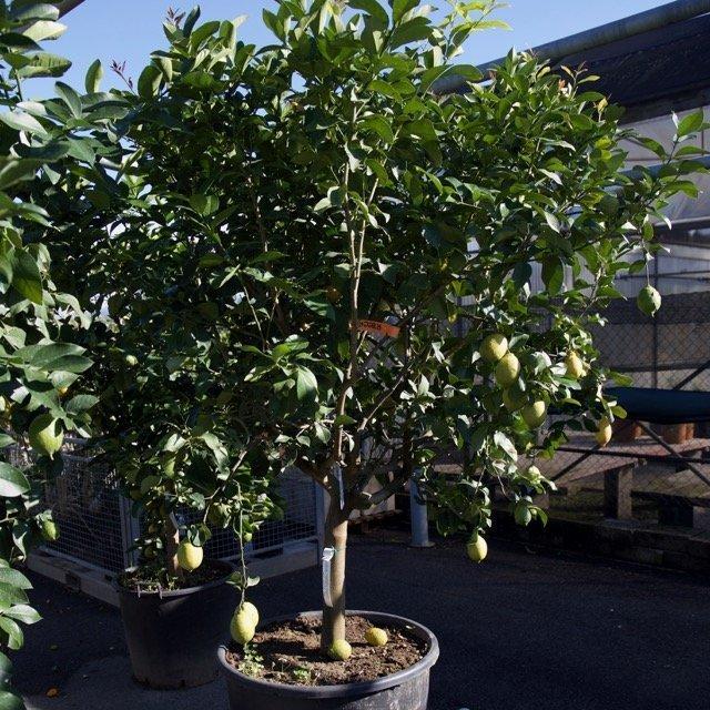 Limone 4 stagioni o lunario vivai frappetta for Pianta limone 4 stagioni