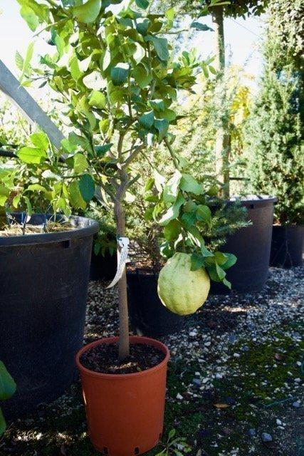 Limone di procida pane vivai frappetta for Acquistare piante di agrumi