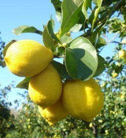 Frutti su ramo di Limone Femminello Zagara Bianca