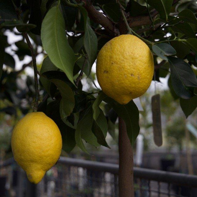 Limone sfusato amalfitano vivai frappetta for Acquistare piante di agrumi