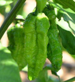 frutti di peperoncino bhut jolokia