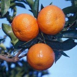Primo piano di frutti di Tangelo Nova Clemenvilla