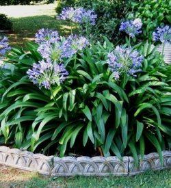 agapanto agapanthus in giardino