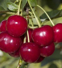 Frutti di Amarena Gerema