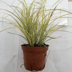 Primo piano della pianta di Carex brunnea Jenneke