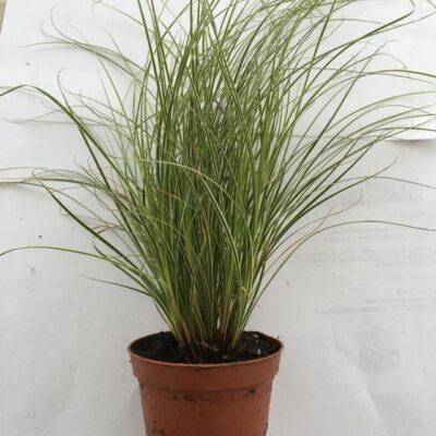 Primo piano della pianta di Carex brunnea Jubilo