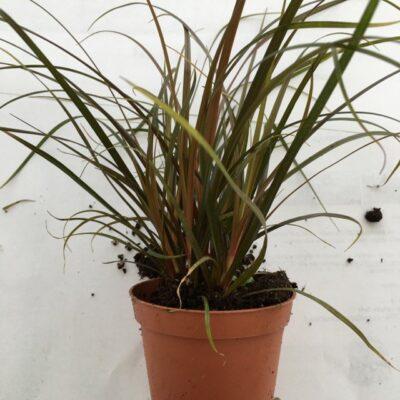 Primo piano della pianta di Carex Uncinia rubra
