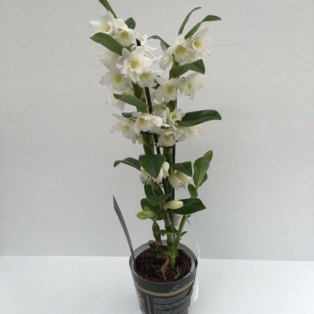 Dendrobium orchidea bamboo vivai frappetta for Pianta con la i