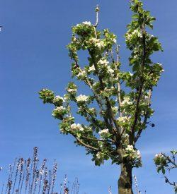albero di melo da fiore new york 81